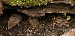 Common Shrew (Sorex araneus) (Sandra Standbridge.) Tags: woodland mammal moss outdoor small tiny elusive logpile secretive insectivora commonshrew sorexaraneus wildandfree huntingforfood