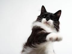 Vicke (rampx) Tags: cat pentax action neko   norwegianforestcat miaw vicke 645z
