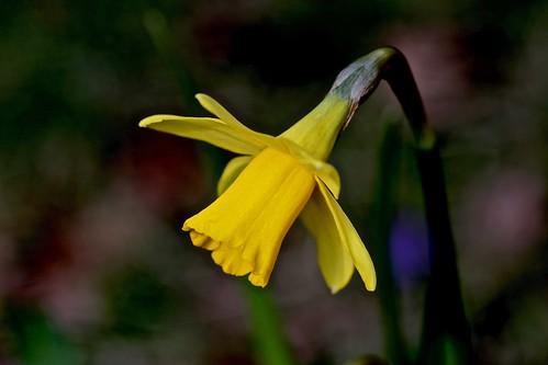 Narcis - Daffodil