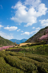 20160306-R0011902 (Kay's...) Tags: cherryblossom sakura   wuling wulingfarm