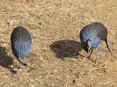 Vulturine Guinea Fowl (Animal People Forum) Tags: africa blue wild bird birds animals outside outdoors guinea fowl striped guineafowl vulturine freeranging