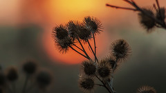 Prickly sunset... (.: mike | MKvip Beauty :.) Tags: sunset red orange mamiya nature yellow backlight germany prime spring europe bokeh availablelight sony ngc naturallight mc npc handheld manual alpha sunsetlight prickly thistles backlighting mth shallowdof 400mm osawa vintagelens primelens manuallens manualexposure extremebokeh smoothbokeh maximiliansau sonyalpha bokehlicious wrthamrhein manualfocusing 56 vintageprime beyondbokeh emount mkvip manualondigital sonyalpha6000 ilce6000 sonyilce6000 sony6000 6000 osawa400mm56mc