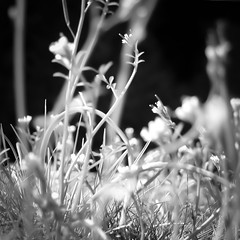 Meadow (CarSaBe) Tags: flowers light white black nature grass square lumix licht leaf natur meadow wiese blumen gras bltter schwarz stengel weis