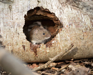 Bank Vole in a Hole