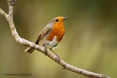 Robin (ABPhotosUK) Tags: robin birds animals canon garden wildlife devon nocrop dartmoor chatsandthrushes eos7dmarkii
