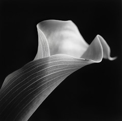 Still life series (Pierpaolo Morra) Tags: life california camera flower 6x6 film monochrome print still close unitedstates kodak hasselblad alameda fiore ilford analogica
