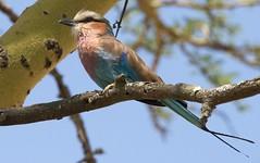 Lilac-breasted Roller (howzey) Tags: africa bird kenya wildlife lilacbreastedroller lakenakuru