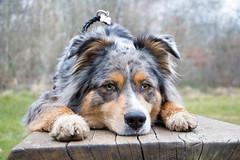 Hyona (Maliss Cogrel) Tags: dog bleu australien merle sheperd berger