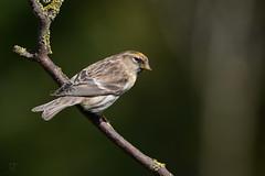 Orange top Redpoll (After-the-Rain) Tags: northumberland larch redpoll gardenbirds joanthirlaway gilslandgarden april2016