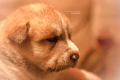 Small beige puppy / Petit chiot beige (tix) Tags: dog chien pet baby beautiful animal animals puppy photography photo beige photographer photographie little photos small young photograph doggy animaux bb chiot stphane petit lapdog photographe crotchet 500px etix thirion tix stephanethirion