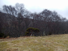 Tree in front of trees, 2016 Mar 23 (Dunnock_D) Tags: uk trees sky cloud tree grass forest woodland grey scotland highlands cloudy unitedkingdom britain highland badenoch