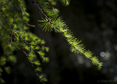 Spring Needles (shawnraisin d+p) Tags: wood plant tree green nature wales forest woodland spring woods mood colours unitedkingdom bokeh restful calm gb glowing serene needles larch idyllic tranquil lampeter enchanting harmonious canon6d