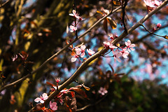 Spring Blossom (Emily_Fletcher) Tags: pink sun colour nature beautiful photography spring warm pretty blossom relaxing calming sunny