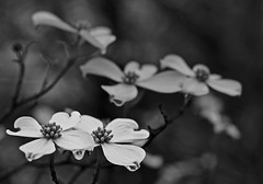 RAINY DOGWOOD BLACK AND WHITE (Wolf Creek Carl) Tags: trees blackandwhite flower nature wet rain georgia easter outdoors dogwood blooms skancheli
