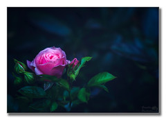 A rose by any other name (Descended from Ding the Devil) Tags: pink light plant flower leaves rose garden outdoors petals dof bokeh depthoffield fullframe lightroom selectivefocus mirrorless photoborder beyondbokeh sonya7mkii