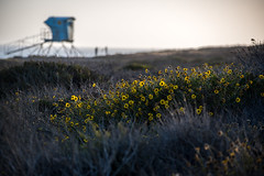 Flowers And Lifeguard Tower (jimsheaffer) Tags: california flowers sunset spring lifeguard lifeguardtower leocarrillo leocarrillostatebeach nikond750 leocarrillocampground