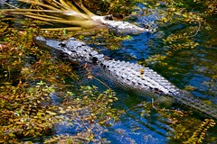Yellow Dragonfly (bmasdeu) Tags: yellow nationalpark florida gator alligator tropical preserve dragongly