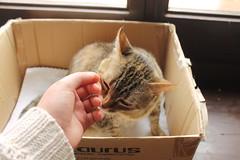Tigre de saln. (anasanreig) Tags: cute cat canon caja gato canoneos tigre gatito saln