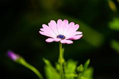 Plante de jardin n9 (Bouhsina Photography) Tags: flower canon wonderful amazing bokeh morocco maroc brilliant ttouan ef100mm28 bouhsina 5diii bouhsinaphotography