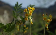 primevres (bulbocode909) Tags: nature fleurs jaune vert printemps primevres