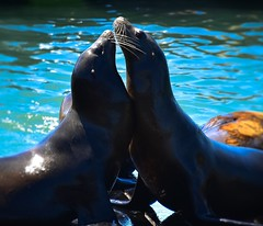 Sea Lion Seals at Pier 39 San Francisco CA (mbell1975) Tags: ocean sf sanfrancisco california ca sea usa water america bay pier us dock san francisco wasser unitedstates cove lion calif cal american seal seals sealions pier39 sealion 39