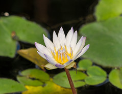 Water Lilly (vern Ri) Tags: flora waterlily lily bloom nybg 2016 doublefantasy
