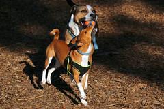 Heidi & Jack (HandsOff) Tags: california santacruz jack heidi basenji grantpark