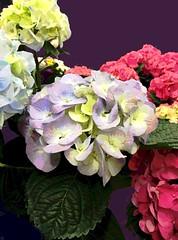 Check Out Hydrangea (Posterized Photo) (randubnick) Tags: art photography digitalart photograph hydrangea posterized digitallymodified digitallyedited