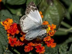 Heliopetes alana (Alana White Skipper) (PriscillaBurcher) Tags: skipper pyrginae whiteskipper heliopetes veinedwhite alanawhiteskipper heliopetesalana mariposasdecolombia butterfliesfromcolombia l1740632