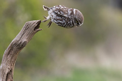 Little Owl (Andy O'Brien UK) Tags: york spring little yorkshire dive down owl plummet