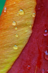 flower color abstraction (samX_29) Tags: abstract flower waterdroplets
