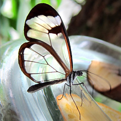 From my archive - (rotraud_71) Tags: butterfly exotic butterflyhouse inselmainau gretaoto glasflgel