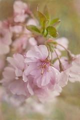 Cherry Blossoms in the Rain (suzanne~) Tags: pink painterly flower macro texture rain cherry spring blossom outdoor petal sakura hanami
