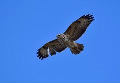 Broken wings (monty689) Tags: wings hunting raptor underside hunter buzzard soaring birdofprey bop buteo