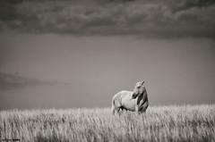 El llanito de los caballos (marianoerro) Tags: horse argentina caballo pampa lapampa gaucho llanura pastizal