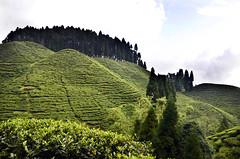 Tea gardens near MIRIK : Darjeeling district, West Bengal, India. (biswarupsarkar72) Tags: tea teagarden darjeeling mirik westbengaltourism tourismofbengal teagardensofwestbengal