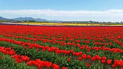 Rainbow of color (Engage Northwest) Tags: flowers tulips wa skagit pnw skagitvalley tulipfestival roozengaarde tulipfields skagittulipfestival