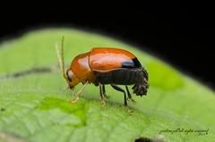 leaf beetle? (zaidirazak) Tags: macro wildlife beetle insects malaysia chrysomelidae zaidirazak