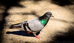 Pigeon in the sun (I. Oosterlinck) Tags: barcelona sun bird animal spain nikon pigeon spanje montjuc duif 2016 d5100