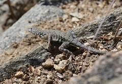 Greater Earless Lizard (Desert Harrier) Tags: greaterearlesslizard