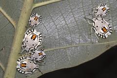 White stink bug (4/10) - Nymphs congregation (arian.suresh) Tags: india bug stinkbug animalia arthropoda andhrapradesh insecta hemiptera hexapoda pterygota heteroptera pentatomidae neoptera nellore whitebug tectonagrandis pentatomomorpha pentatomoidea pentatominae condylognatha skanfarmhouse degonetusserratus ariansuresh 750d2016img5111 whitestinkbug whitepentatomidae degonetini tectonastinkbug teakstinkbug teakwhitestinkbug
