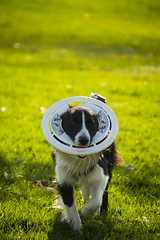 flor (maqzet) Tags: dog ball collie border perro frisbee fetch pelota gopro
