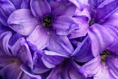 A Dream Of Purple (dietmar-schwanitz) Tags: flower colour macro purple stack lila blume makro farbe manfrotto lightroom hyazinthe focusstacking sirui dietmarschwanitz nikond750 nikonafsmicronikkor105mmf28gedheliconfocus