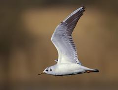 Black headed gull ( chroicocephalus ridibundus ) (Mid Glam Sam1) Tags: lake water reeds dawn inflight gull chroicocephalusridibundus