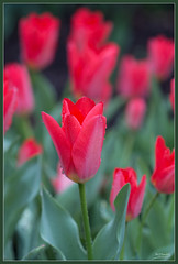 tulips (Max Gerber Smith) Tags: odc 116in2016