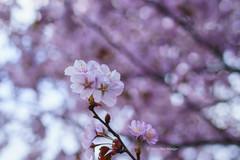 Spring Bokeh  (Alpha 2008) Tags: light sun flower japan cherry sapporo hokkaido dof blossom bokeh sony   cherryblossom  alpha