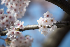 There has been an Awakening (jasohill) Tags: pink color tree nature japan canon cherry photography eos lights spring pond blossom takamatsu iwate viewing morioka 2016 80d