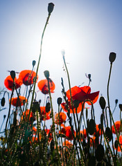 Lift-off (Cirrusgazer) Tags: life red sun sunlight sunshine bluesky explore greece growth liftoff crete poppy poppies wildflowers soaring joyful joyous bursting sonya7r fe1635mmf4za