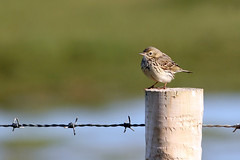 Meadow Pipit (NickWakeling) Tags: nature birds wildlife norfolk salthouse pipit meadowpipit canonef400mmf56lusm canon60d