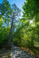 Die 350jhrige Kiefer (W***) Tags: by nationalpark strasse belarus wald weissrussland unescowelterbe brestregion weisrussland